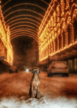 ridgeback: A Rhodesian Ridgeback dog in the night city on a background of colored lights
