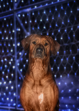 rhodesian: A Rhodesian Ridgeback dog in the night city on a background of colored lights