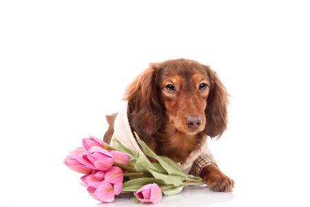 longhair: Longhair dachshund puppy, isolated on white holding a bouquet of tulips