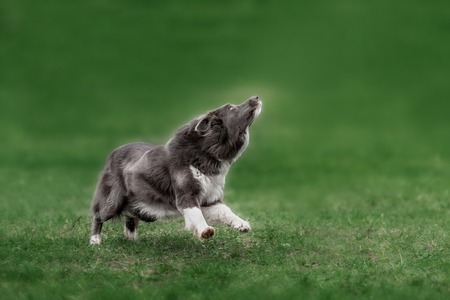 catching: Border collie dog catching frisbee in jump in summer day Stock Photo