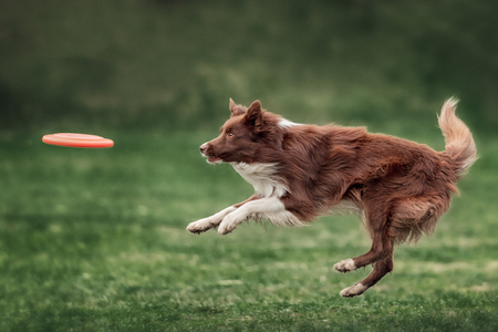 frisbee: Border collie dog catching frisbee in jump in summer day Stock Photo