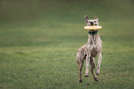 playful behaviour: dog catching frisbee in jump on green grass