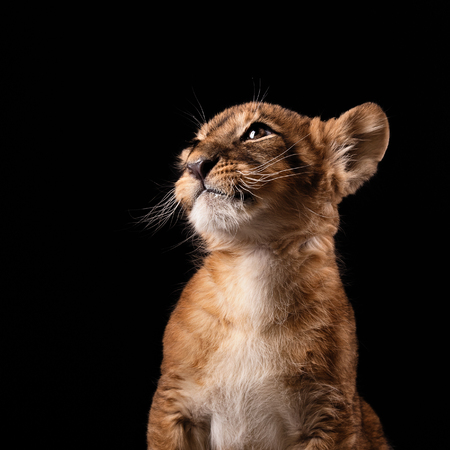 female eyes: little lion cub in Studio on black background Stock Photo