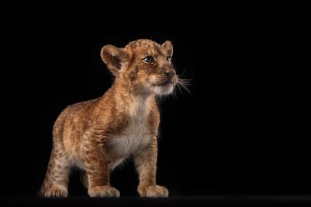 lion cub: little lion cub in Studio on black background Stock Photo