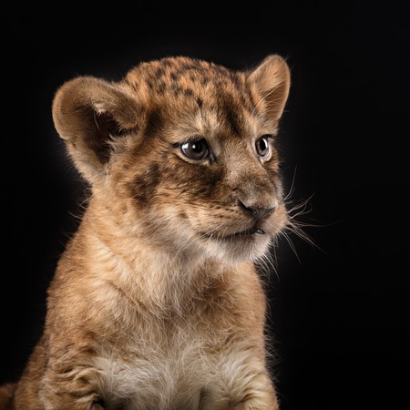 cub: little lion cub in Studio on black background Stock Photo