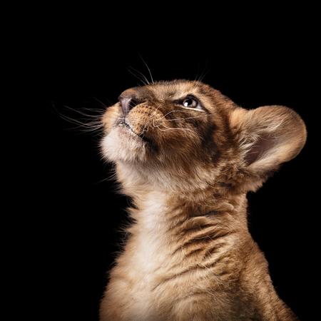 黒い背景にスタジオで小さなライオンの子 写真素材