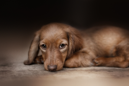 dog cat: Dachshund dog looks at camera in home