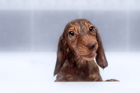 soppy: Dachshund to take a shower in bathroom Stock Photo