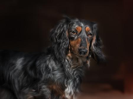 perros jugando: Perro del Dachshund mira a la cámara en casa