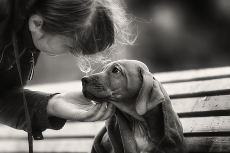 ridgeback: Beautiful dog rhodesian ridgeback hound puppy outdoors on a field Stock Photo