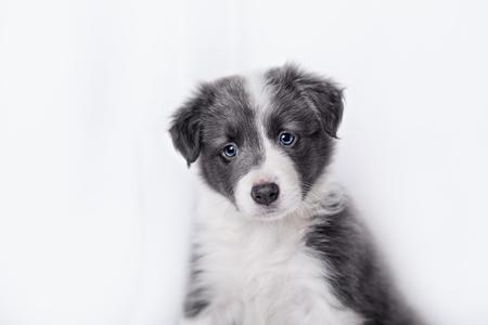 border collie puppy: cute Border collie puppy, on a white background