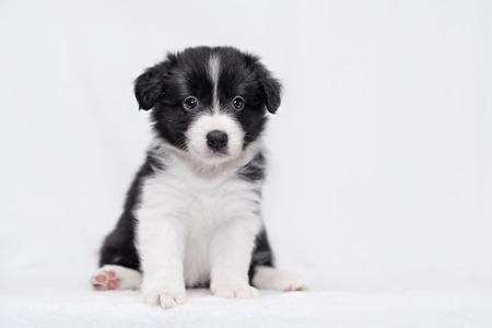白い背景の上のかわいいボーダーコリー子犬