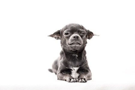 dwarfish: Funny puppy Chihuahua poses on a white background Stock Photo