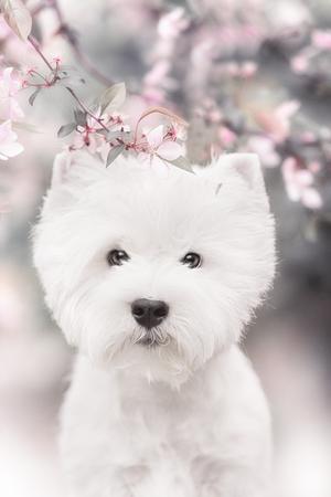 cute westie: West Highland White Terrier puppy in outdoore