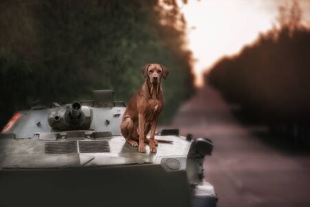 ridgeback: Dog breeds Rhodesian Ridgeback sits on a tank in outdoor