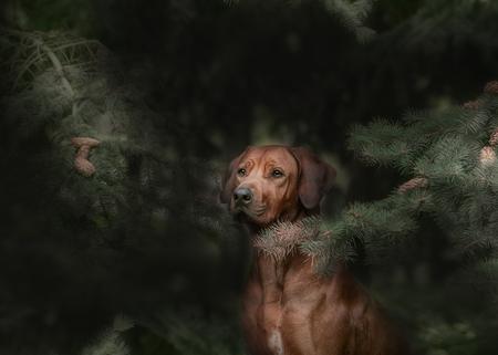 rhodesian: Beautiful dog rhodesian ridgeback hound outdoors on a forest background