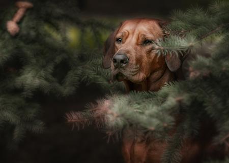 ridgeback: Beautiful dog rhodesian ridgeback hound outdoors on a forest background