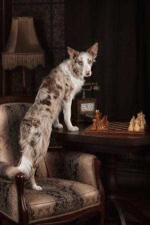 dark interior: border colli dog and chess in dark interior studio