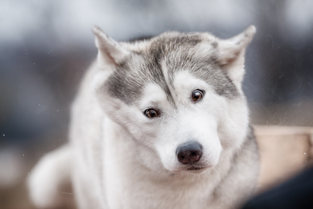 shake off: A Siberian Husky winks as he shakes off water after a swim in the river