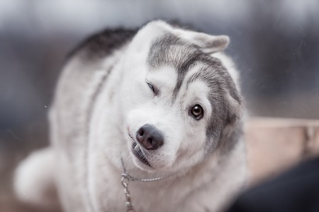 A Siberian Husky winks as he shakes off water after a swim in the river