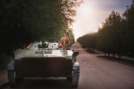 rhodesian: Dog breeds Rhodesian Ridgeback sits on a tank in outdoor