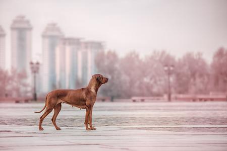 rhodesian: Rhodesian Ridgeback Dog on the wall, Moscow in Russia Stock Photo