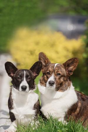 cardigan: Two cute welsh corgi cardigan posing in park Stock Photo