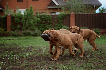bordeaux dog: Dogue de Bordeaux dog runs on the grass in outdoor Stock Photo