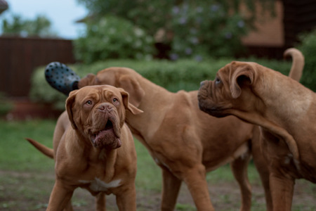 dogue de bordeaux: Dogue de Bordeaux dog runs on the grass in outdoor Stock Photo