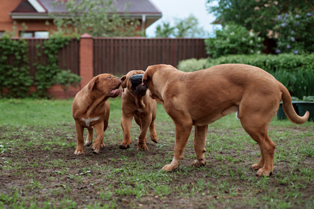 muddy: Dogue de Bordeaux dog runs on the grass in outdoor Stock Photo