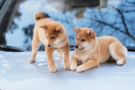 two beutiful shiba inu dog on a car in outdoor 写真素材