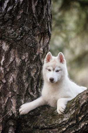 Dog. Portrait on the tree in outdoor. Portrait of Siberian Husky Stock Photo