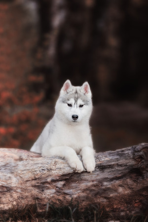 Dog. Portrait on the tree in outdoor. Portrait of Siberian Husky Stock Photo