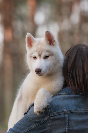 siberian samoyed: Dog. Portrait on the tree in outdoor. Portrait of Siberian Husky Stock Photo