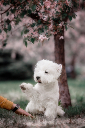 westie: Cute West highland white Terrier in a lush Park. The pink trees.