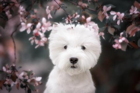 perros graciosos: Terrier blanco de montaña del oeste linda en un exuberante parque. Los árboles de color rosa. Foto de archivo