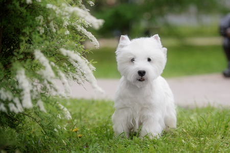 Cute West highland white Terrier in a lush Park. The pink trees.