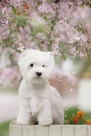 cute westie: Cute West highland white Terrier in a lush Park. The pink trees.