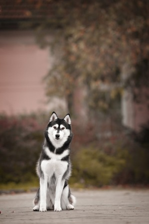 magnificence: Portrait of Siberian Husky black and white color in outdoor