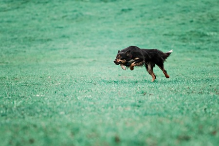 chasing: A picture of a fast dog running on the grass