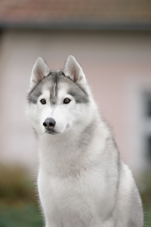 Portrait of Siberian Husky in outdoor autoome