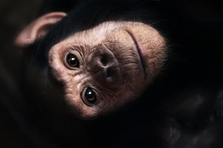 카메라를보고 침팬지의 근접 팬 troglodytes 스톡 콘텐츠