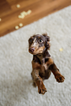 dreaminess: Dachshund dog looks at camera
