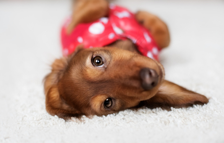 funny Dachshund puppy is covered with a blanket in home