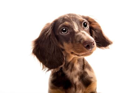 Pequeño perro dachshund sobre un fondo blanco Foto de archivo - 69527077