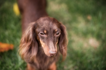 running nose: Miniature dachshund lawn dog smile