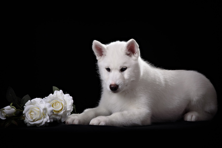 white siberian husky puppy and white rose on black Stock Photo