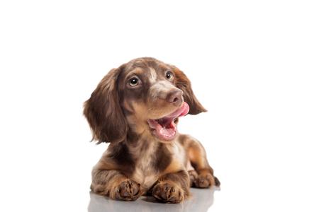Small dachshund dog 版權商用圖片