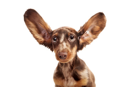 Small dachshund dog Stock Photo