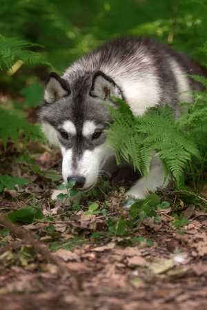 Beautiful dog Siberian Husky